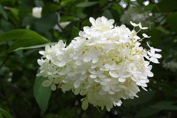 Hydrangea paniculata (Rispenhortensie)