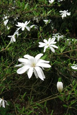 Magnolia stellata (Sternmagnolie)