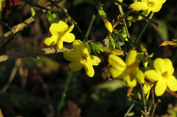 Jasminum nudiflorum (Winterjasmin)