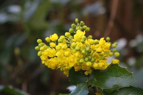 Mahonia aquifolium (Gewöhnliche Mahonie)