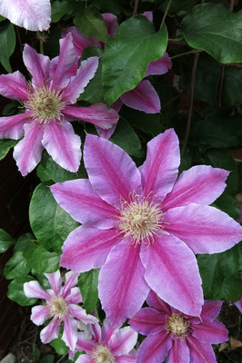Clematis 'Nelly Moser' (Waldrebe)