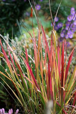 Imperata cylindrica 'Red Baron'  (Japanisches Blutgras)