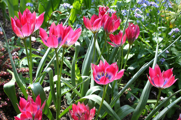 Tulpe humilis 'Little Beauty' (Wildtulpe)