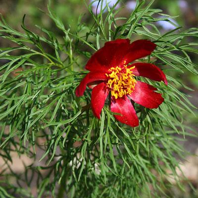 Paeonia tenuifolia (Pfingstrose)