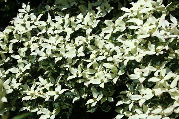 Cornus kousa 'chinensis' (Chinesischer Blumenhartriegel)