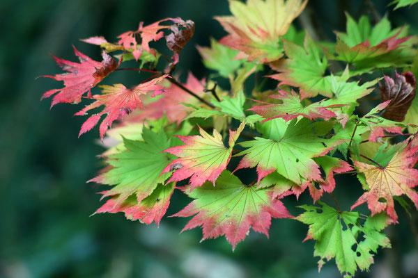 Acer shirasawanum 'Aureum'  (Japanischer Gold-Ahorn)