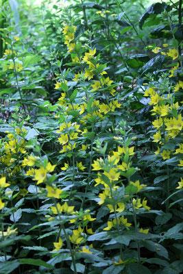 Lysimachia vulgaris (Gemeiner Gilbweiderich)