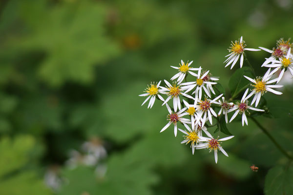 Aster divaricatus (Wildaster)