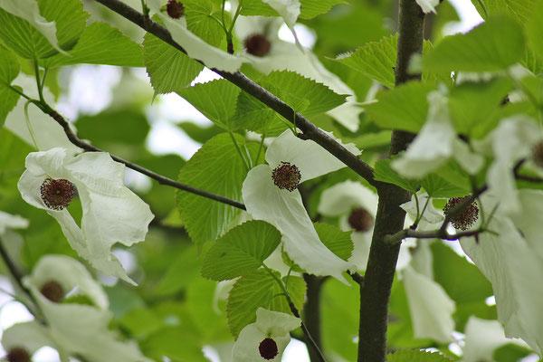 Davidia involucrata (Taschentuchbaum)
