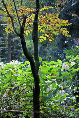 Koelreuteria paniculata (Blasenesche)