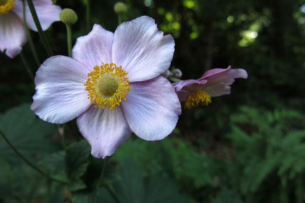 Anemone hupehensis 'Septembercharme' (Japananemone)