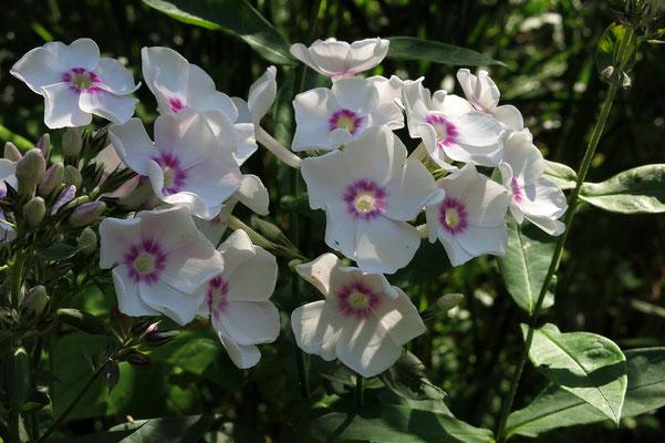 Phlox paniculata 'Sommerkleid' (Stauden-Phlox)