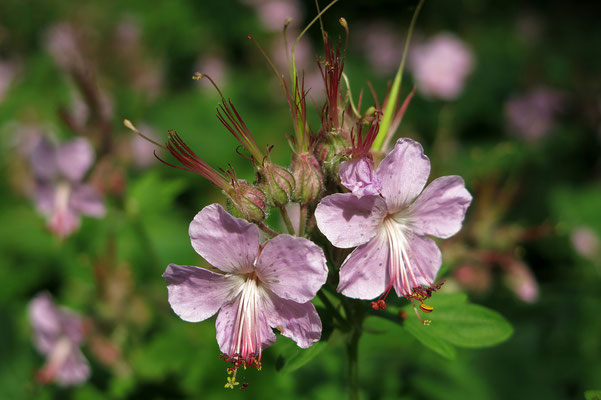 Thalictrum dipterocarpum (Wiesenraute)