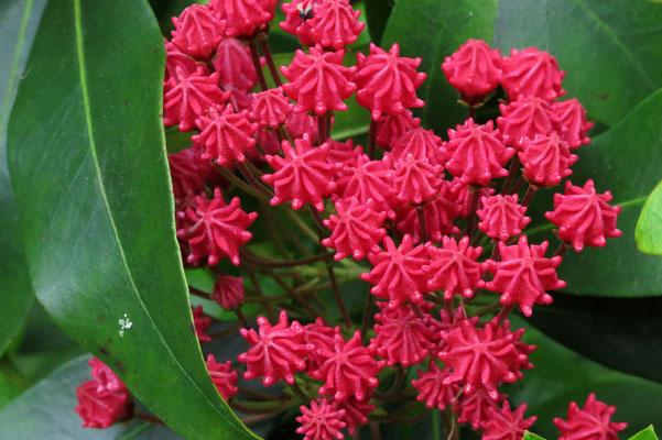 Kalmia angustifolia 'Rubra' (Lorbeerroeschen)