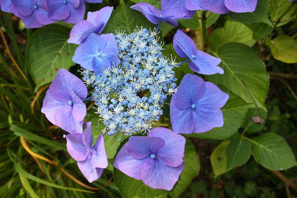 Hydrangea macrophylla 'Blaumeise' (Tellerhortensie)