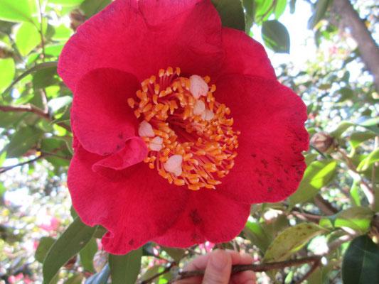 ポルトガル紅唐子 ポルトガル産の赤い唐子咲きの大輪