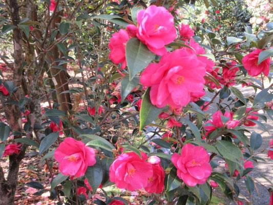 フェアリーワンド  ニュージーランド産の濃いピンクの八重咲き椿