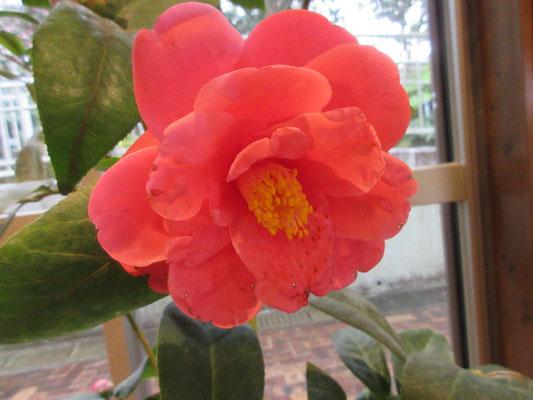 シーナ:ハイドゥンとタマ・アメリカーナの交配種,シーナ&ロケッツのシーナさんの名前が付けられています。