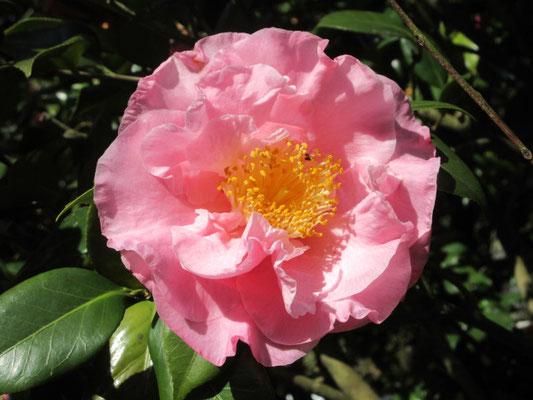 ヘンリーEハンチントン  アメリカ産の鮮やかなピンクの大輪