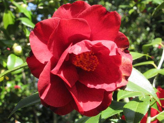ロイヤルベルベット  アメリカ産の深い赤、八重咲きの大輪