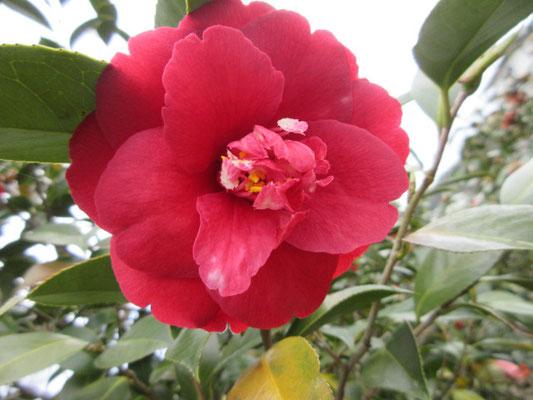 埼玉で登録された品種 暗紅色八重咲きから宝珠咲きの【崑崙黒】