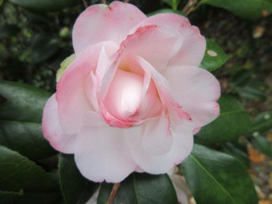 新潟産薄桃色の八重咲きから宝珠咲きの【桜貝】