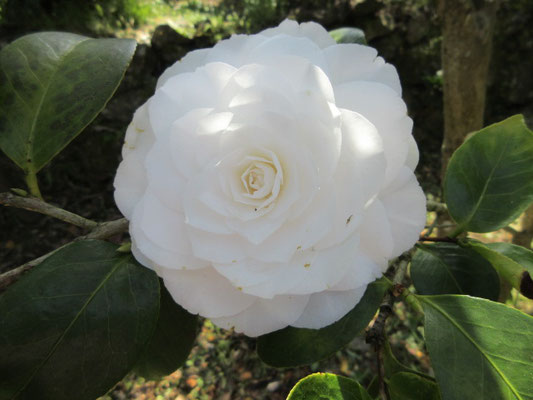 ヌチオズ・ジェム  アメリカ産の白い千重咲きの大輪
