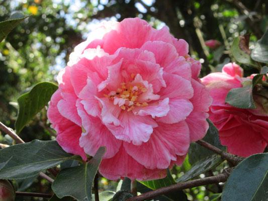 ハッピーデイズ  濃いピンクで白班入りのバラ咲き