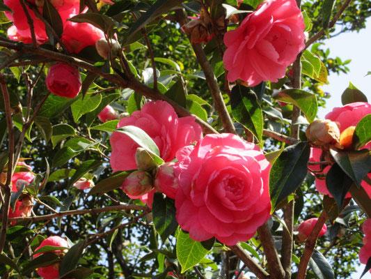 ドブロ  アメリカ産のバラ咲きの大輪椿