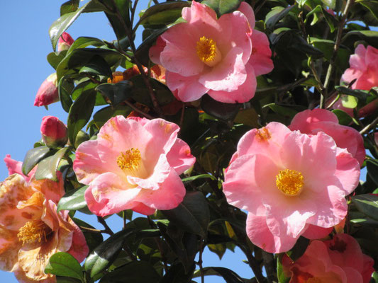 ヌチオズ・カルーセル  アメリカ産のピンクの八重咲きの大輪