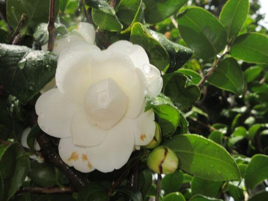 宝珠咲き 白玉宝珠(しらたまほうしゅ)