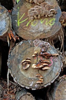 Des champignons sauvages dans le Deister