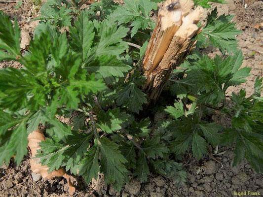 Artemisia vulgaris / Gewöhnlicher Beifuß