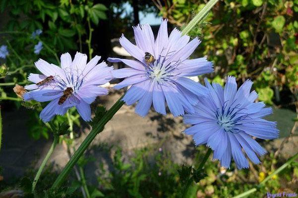 02.07.2010-Cichorium endivia - Endiviensalat, Zuckerhut