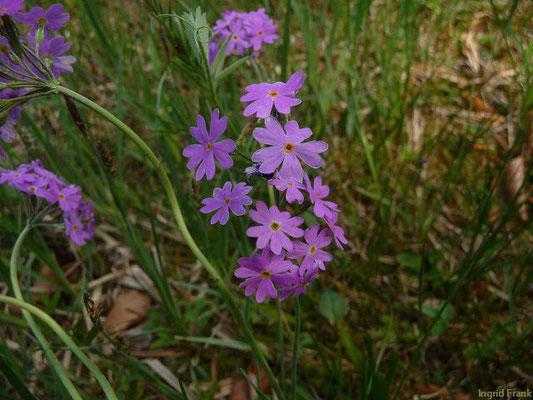 Primula farinosa / Mehl-Primel