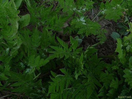 24.04.2010-Myrrhis odorata - Echte Süßdolde