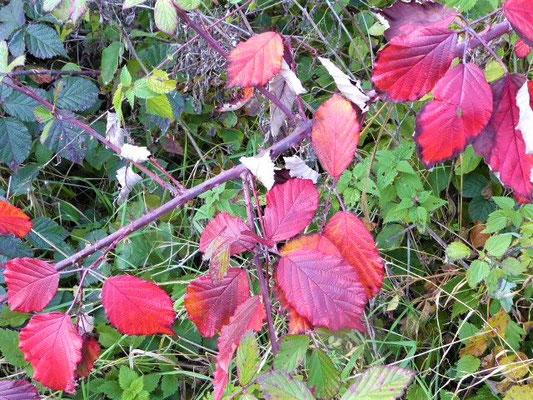 Brombeerblätter mit Herbstfärbung