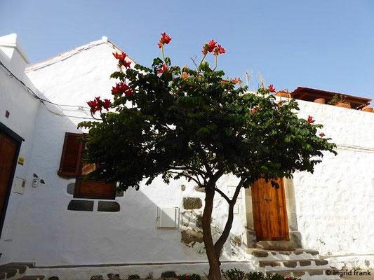 Spathodea campanulata - Afrikanischer Tulpenbaum