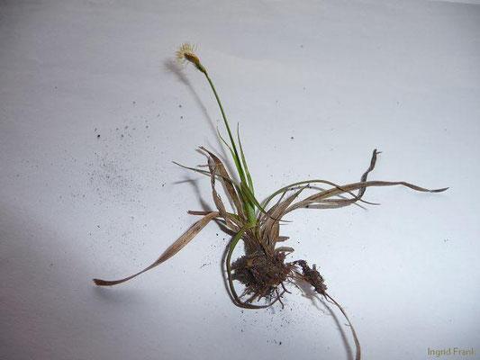 27.04.2013 - Carex caryophyllia - Frühlings-Segge