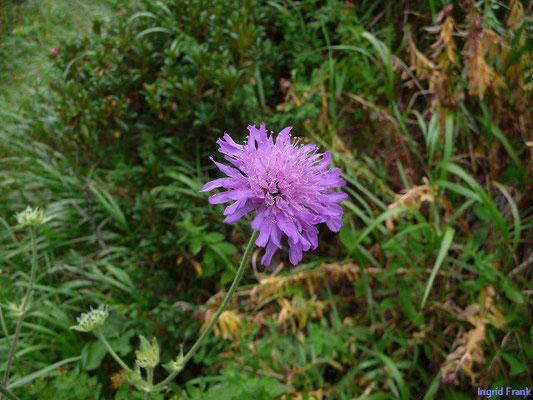 Knautia longifolia - Knautia longifolia    VII-VIII