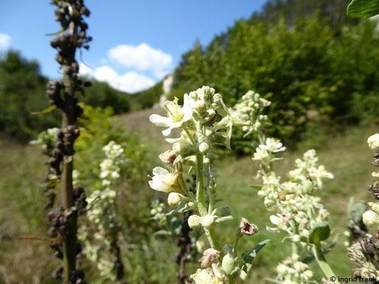 Verbascum lychnitis / Mehlige Königskerze