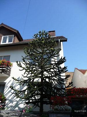 09.09.2012-Araucaria araucana -Chilenische Andentanne (Vorgarten in Handschuhsheim)