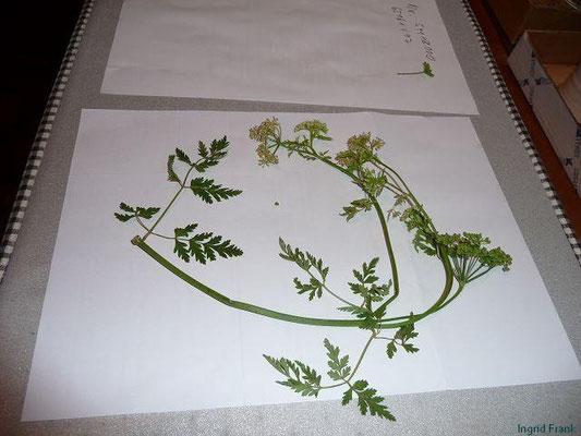 Conium maculatum - Gefleckter Schierling