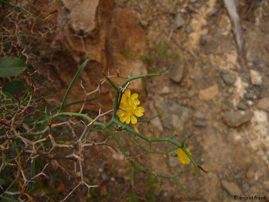 Launaea arborescens - Strauchiger Dornlattich (La Gomera)