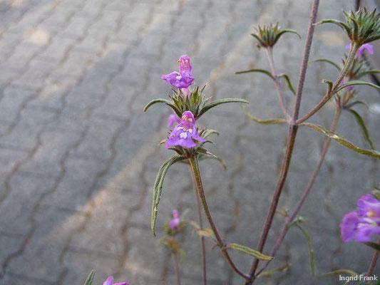 Galeopsis angustifolia / Schmalblättriger Hohlzahn