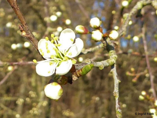 Prunus spinosa - Schlehe, Schwarzdorn