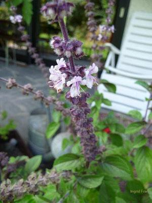 16.08.2009-Ocimum basilicum - Basilikum