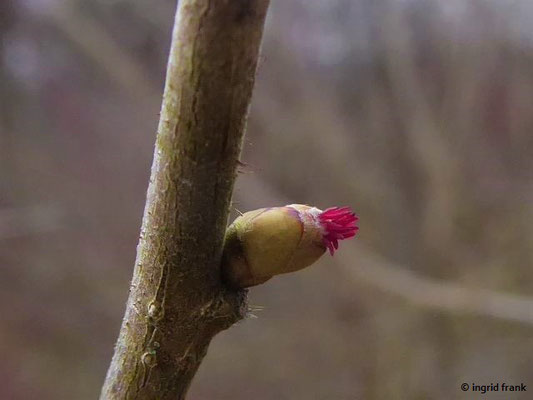 Corylus avellana / Haselstrauch