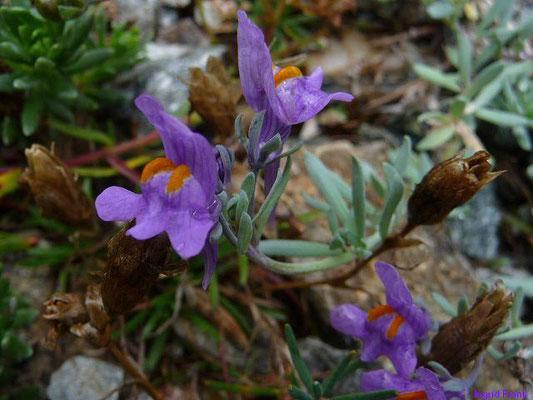 Linaria alpina - Alpen-Leinkraut    VI-VII