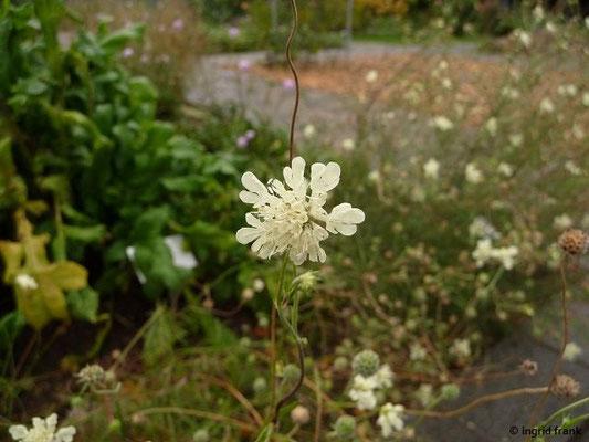 Scabiosa ochroleuca / Gelbe Skabiose  (Botanischer Garten Universität Heidelberg)